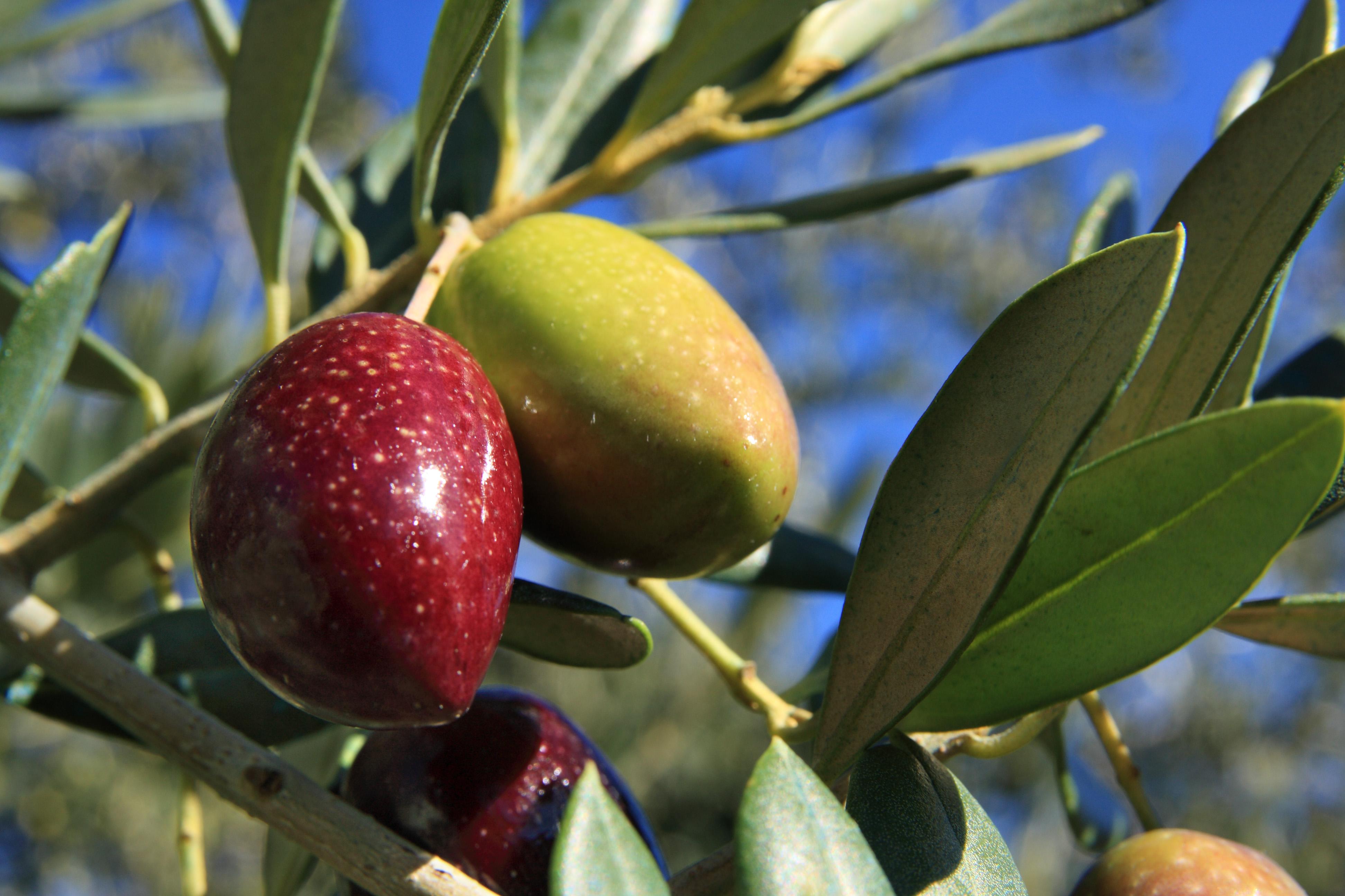 Aceites Vizcántar fruto del olivo