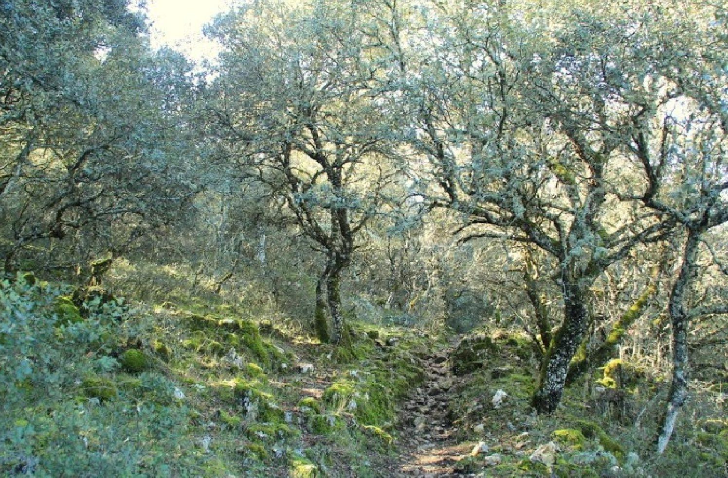 Bosque de encinar y musgo