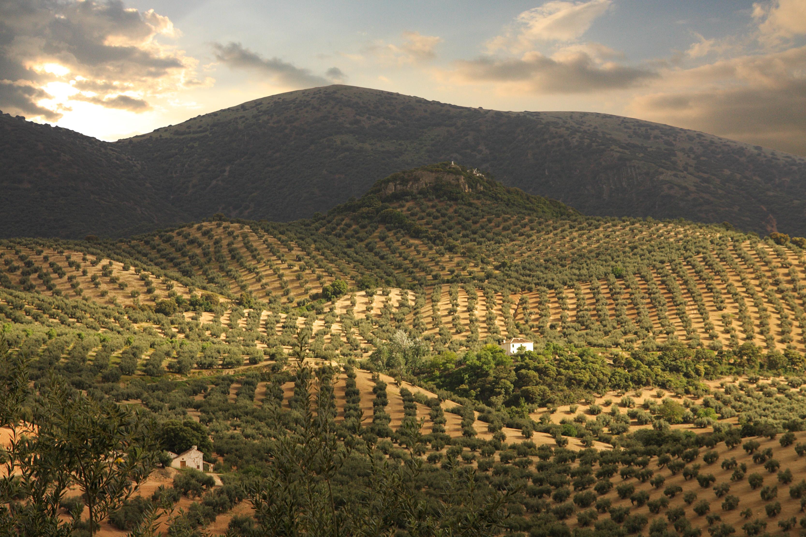Paisaje de olivar en Priego de Córdoba